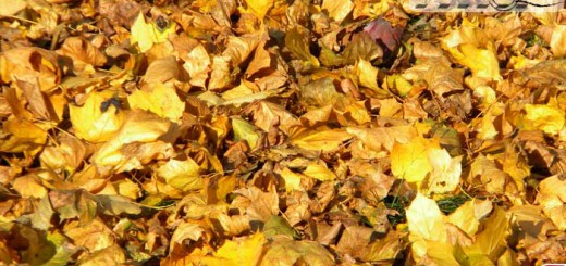 yellow_leafs