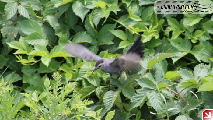 catbird002