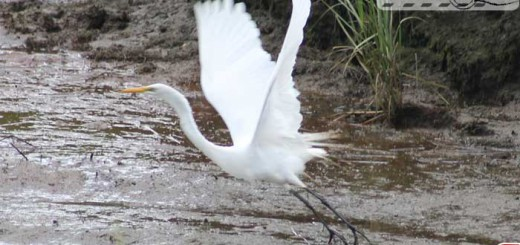 great-egret-005