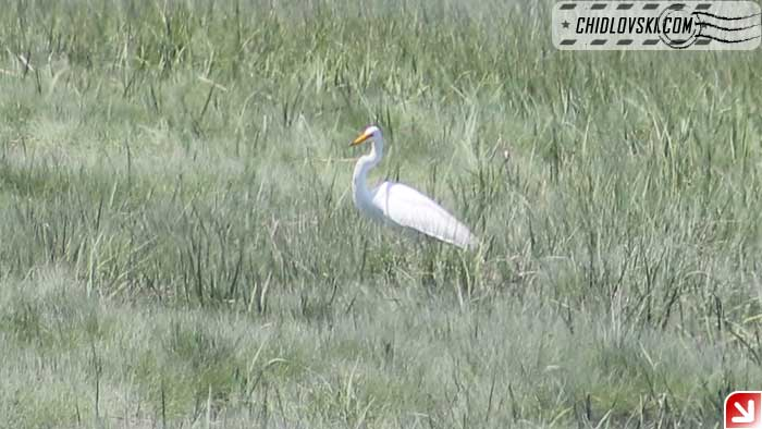 great-egret-107