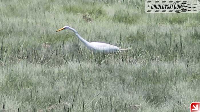 great-egret-110