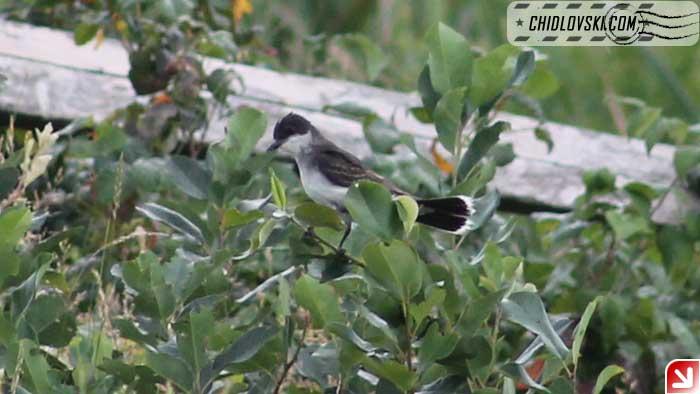 kingbird-002