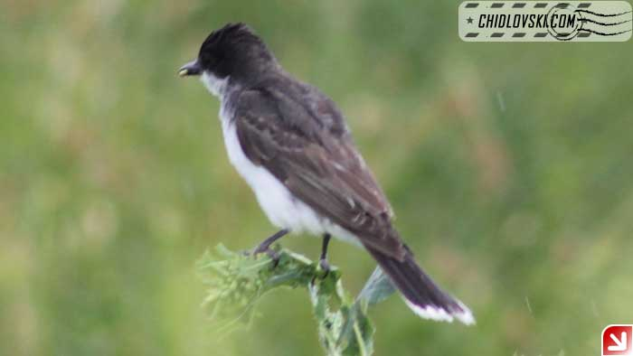 kingbird-004