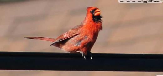 cardinals-001