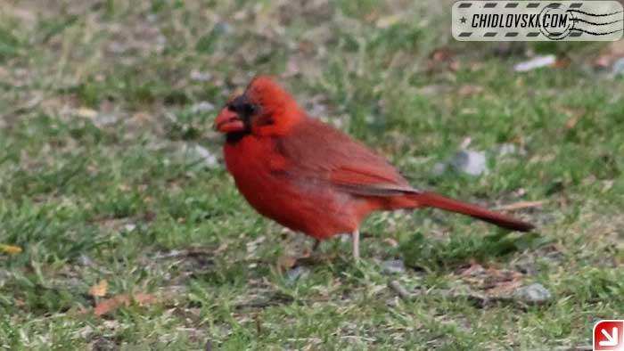 cardinal-00