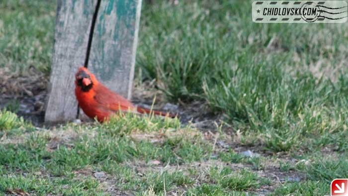 cardinal-02