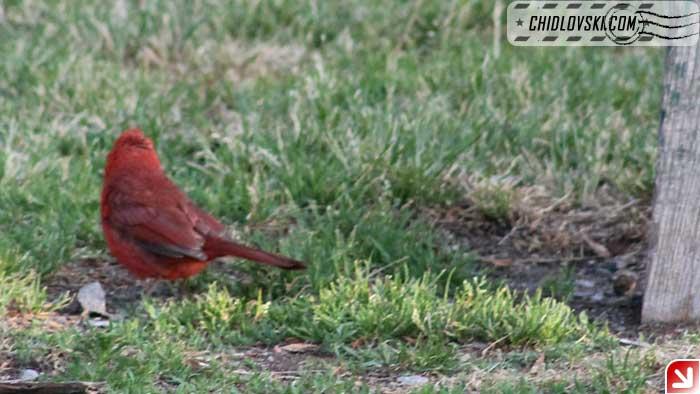 cardinal-03