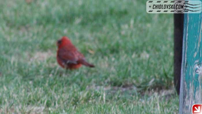 cardinal-04
