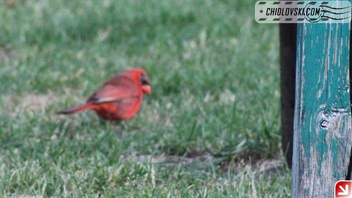 cardinal-05