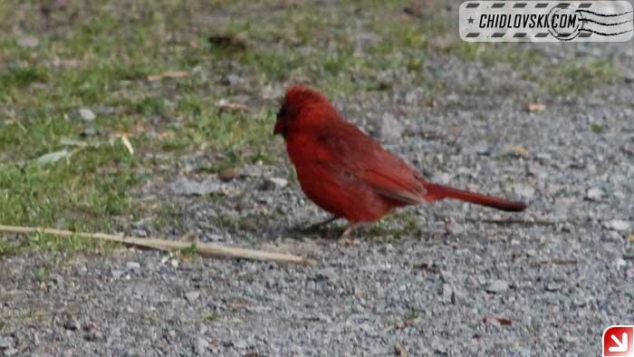 cardinal-06