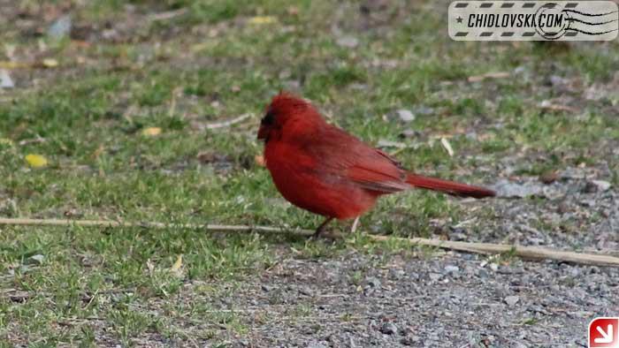 cardinal-07