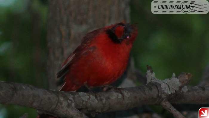 cardinal-08