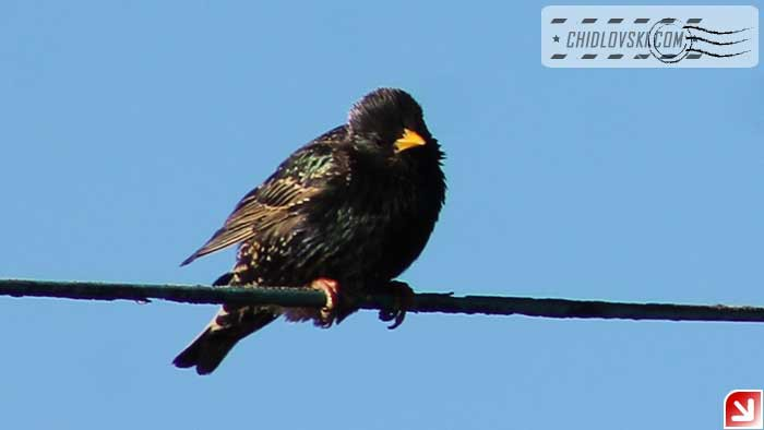 euro-starling-101