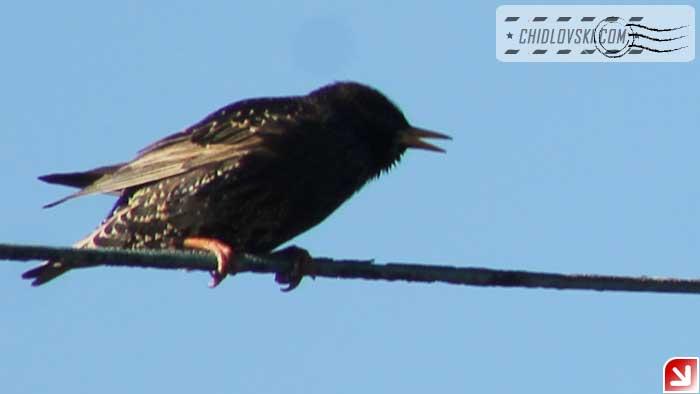 euro-starling-102
