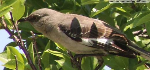 mocking-bird-100