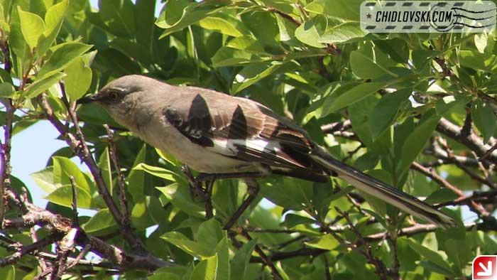 mocking-bird-103