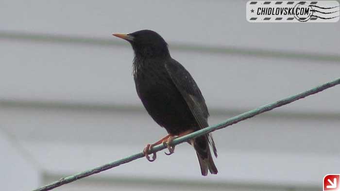 starling-001