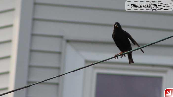 starling-002