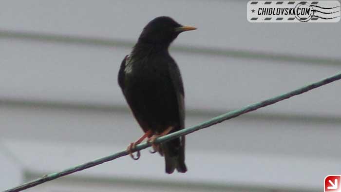 starling-003