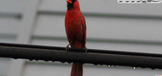 cardinal-072015
