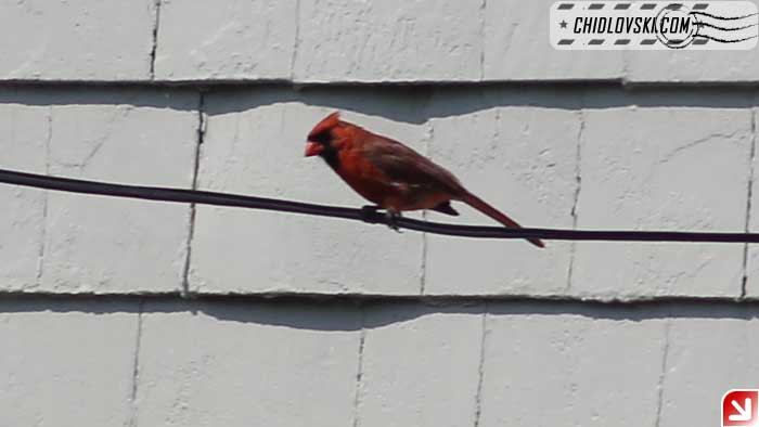 cardinal-401