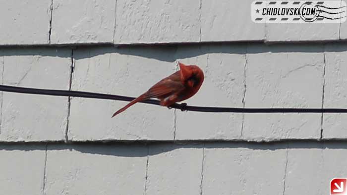 cardinal-402