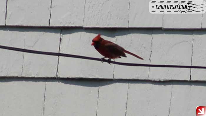 cardinal-403