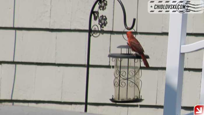 cardinal-405