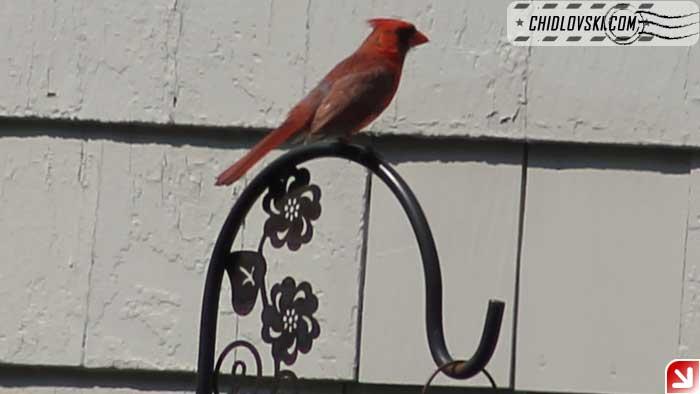 cardinal-406