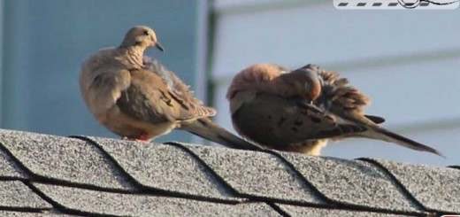 doves-on-roof