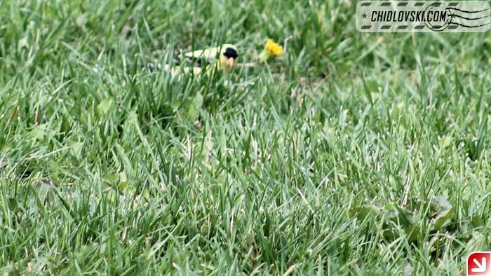 goldfinch-001