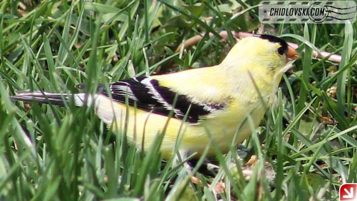 goldfinch-002