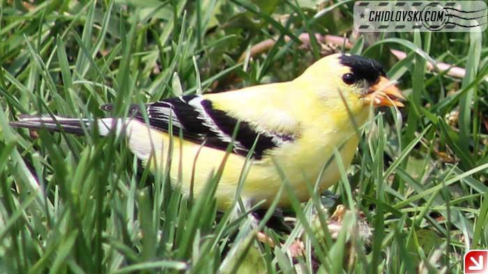 goldfinch-003