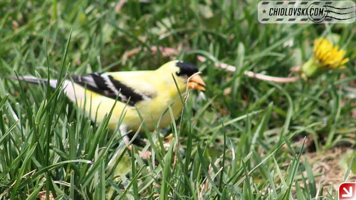 goldfinch-005