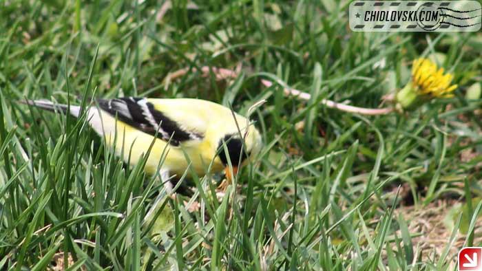 goldfinch-006