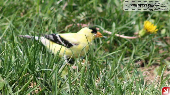 goldfinch-007
