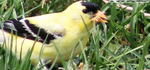 goldfinch-008