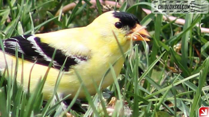 goldfinch-008