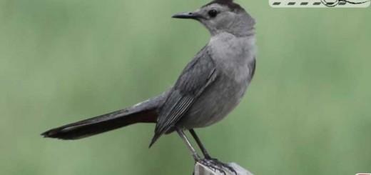 gray-catbird