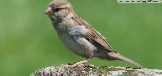 handsome-sparrow