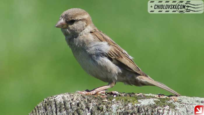 handsome-sparrow