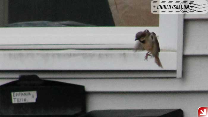sparrow-breakfast-003
