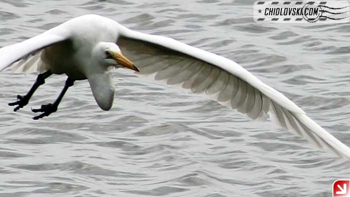 egret-flight-001