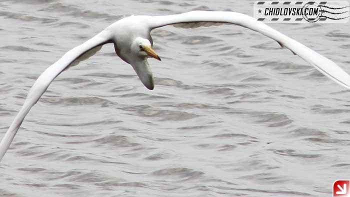 egret-flight-002