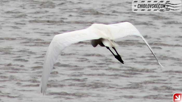 egret-flight-003