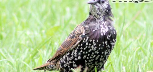euro-starling-08-002
