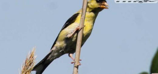 goldfinch-08-000