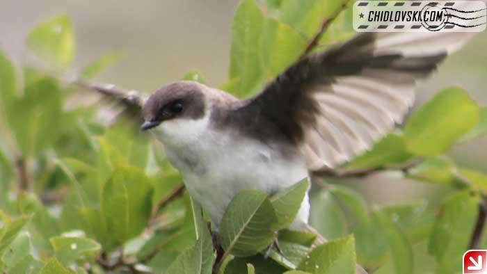tree-swallow-08-002