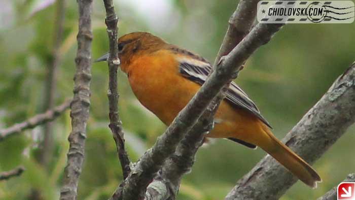 baltimore-oriole-female