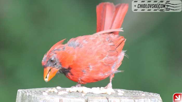cardinal-09-001
